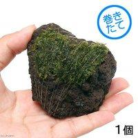 巻きたて ウィローモス 富士ノ溶岩石 Sサイズ(約7~9cm)(無農薬)(1個)