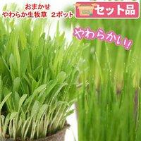 おまかせやわらか生牧草 直径8cmECOポット植え(無農薬)(2ポット) 猫草 北海道冬季発送不可