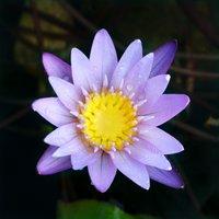 睡蓮 熱帯性睡蓮(スイレン)(紫)ミロク(1ポット)ムカゴ種 休眠株