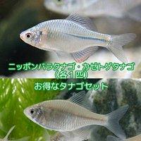 タナゴセット(ニッポンバラタナゴ+カゼトゲタナゴ)(各1匹)