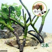 巻きたて ジャイアント南米ウィローモス付 枝状流木 Mサイズ(約20cm~)(無農薬)(3本)