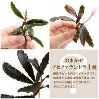 おまかせブセファランドラ1種(水中葉)(無農薬)(1株)