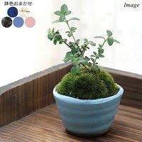 苔盆栽 樹木苗 ミニ小鉢植え 鉢色おまかせ(1鉢) 北海道冬季発送不可