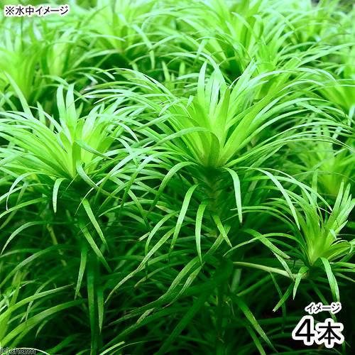 (水草)トニナsp.ラーゴグランデ(無農薬)(4本)