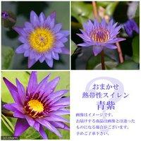 睡蓮 おまかせ熱帯性品種睡蓮(スイレン) 青紫系(1ポット) (休眠株) 北海道冬季発送不可