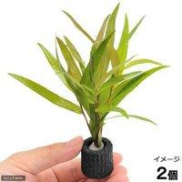 マルチリングブラック(黒) ポリゴナムsp.ピンク(水上葉)(無農薬)(2個)