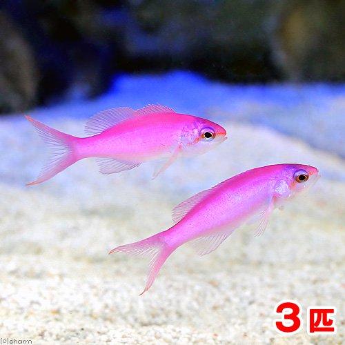 (海水魚)ハナゴイ(3匹)