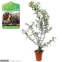 果樹苗 オリーブ ネバディロブランコ 5号(1鉢) 家庭菜園