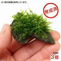 育成済 南米ウィローモス 風山石 ミニサイズ(約5cm)(無農薬)(3個)