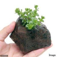 ロタラ ロトンディフォリア GOUTIN-RED(水上葉) 穴あき溶岩石付(無農薬)(1個)