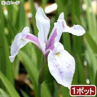 水辺植物 カキツバタ 夢路(ユメジ)(1ポット) 休眠株