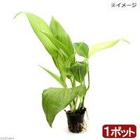 ビバリウムプランツ ヤマサキカズラ(無農薬)(1ポット)