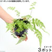 ビバリウムプランツ おまかせシダ植物 3号ポット(3ポット) 北海道冬季発送不可