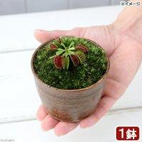 苔盆栽 ハエトリソウ 穴有益子焼植木鉢 還元(1鉢)