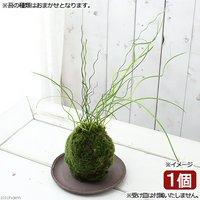 苔玉 ラセンイ(1個) 観葉植物 コケ玉