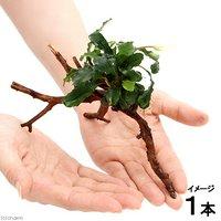 ブセファンドラ グリーンウェービー ブランチアーチ流木付(約15cm~)(1本)