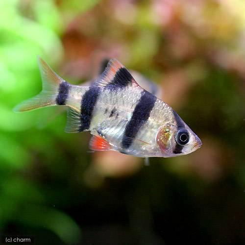 (熱帯魚)スマトラ(6匹) 北海道・九州・沖縄航空便要保温