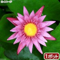 睡蓮 熱帯性睡蓮(スイレン)(桃) ピンク カペンシス(1ポット)  休眠株