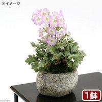 苔盆栽 雲南桜草(ウンナンサクラソウ)~白溶岩石鉢~ Sサイズ(1鉢)