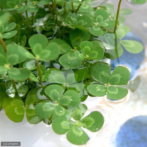 (ビオトープ/水辺植物)メダカの鉢にも入れられる水辺植物! ウォータークローバー ムチカ(10ポット分)