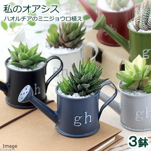(観葉植物)私のオアシス ハオルチアのミニジョウロ植え(3鉢) 説明書付き