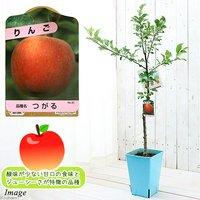 果樹苗 ベランダ リンゴ つがる 7号(1鉢) 家庭菜園 北海道冬季発送不可