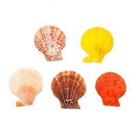 貝殻 シェルコレクション ヒオウギガイ おまかせカラー Lサイズ 片面タイプ 5個 形状おまかせ