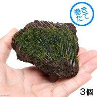 巻きたて ジャイアント南米ウィローモス 富士ノ溶岩石 Sサイズ(約7~9cm)(無農薬)(3個)