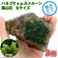 巻きたて ハネゴケsp.カメルーン産 風山石 Sサイズ(約10cm) (無農薬)(3個)
