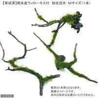 育成済 南米ウィローモス 枝状流木 Mサイズ(約20cm~)(無農薬)(1本)