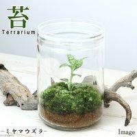 苔Terrarium ミヤマウズラ ガラスボトルL 説明書付 ジュエルオーキッド