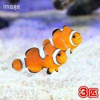 カクレクマノミ イレギュラーバンド(国産ブリード)(3匹)熱帯魚