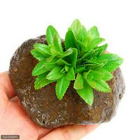 リムノフィラsp.スリランカ タイプA(水上葉) 穴あき溶岩石付(無農薬)(1個)