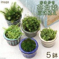 苔盆栽 おまかせ苔 豆鉢植え(5鉢)
