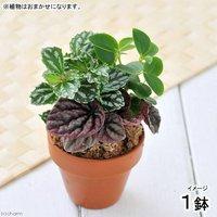 テラコッタプランツ おまかせ3種ミックス 6cm素焼鉢植え(1鉢)