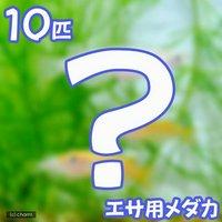 生餌 エサ用メダカ/えさ用めだか(10匹)