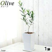 果樹苗 オリーブの木(品種おまかせ) 陶器鉢植え ジュノーMS WH(1鉢) 品種名のラベル付き 家庭菜園