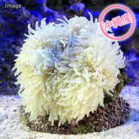 沖縄産 シライトイソギンチャク MLサイズ(1匹)無脊椎動物