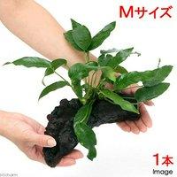 アヌビアス ショート&シャープ 流木付 Mサイズ(1本)(約20cm)