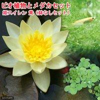(めだか)ビオ植物とメダカセット 姫睡蓮(ヒメスイレン) 黄 鉢なしセット