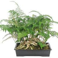 シノブ ジャンボシノブ 小判鉢植え 10号(1鉢)