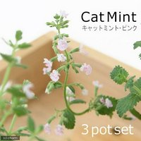 ハーブ苗 ミント キャットミント ピンク 3号(3ポット) 家庭菜園