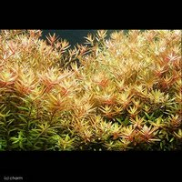 ロタラ ロトンディフォリア(無農薬)(10本)
