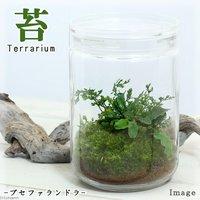 苔Terrarium ブセファランドラ ガラスボトルL 説明書付