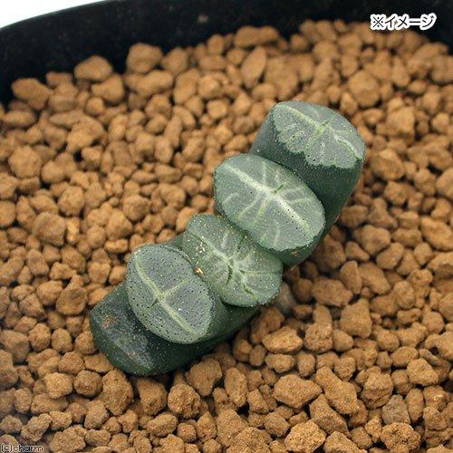 (観葉植物)品種系ハオルチア 玉扇 偏平大窓特美白線模様 白狼 3号(1鉢) 北海道冬季発送不可