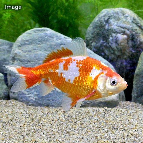 (国産金魚)更紗和金(サラサワキン) 三つ尾〜四つ尾 木下氏作出 7〜9cm(3匹)