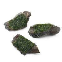 巻きたて ウロコゴケsp.スラウェシ 風山石 SSサイズ(無農薬)(1個)