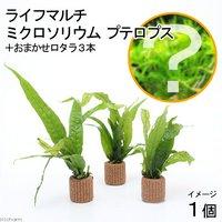ライフマルチ(茶) ミクロソリウム プテロプス(1個+おまかせロタラ3本おまけ)