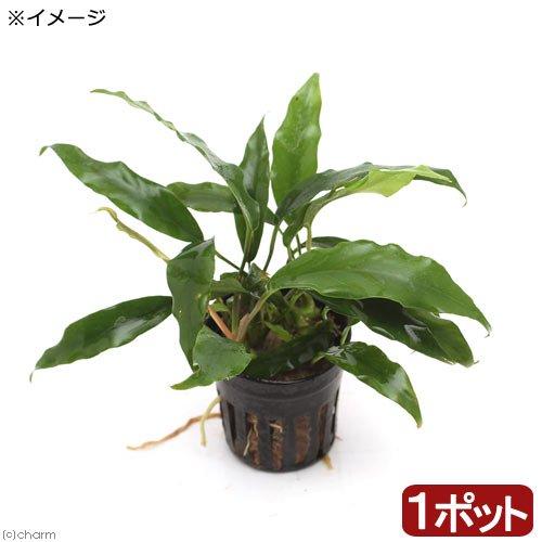 (水草)アヌビアス ミニマ(1ポット分)