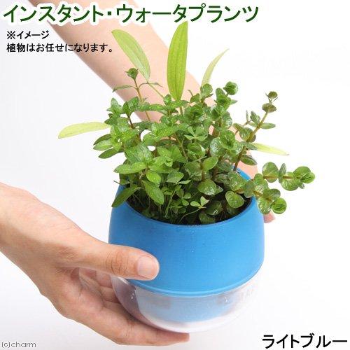 (水草)インスタント・ウォータプランツ(寄せ植え)(ライトブルー)(1鉢) 本州四国限定